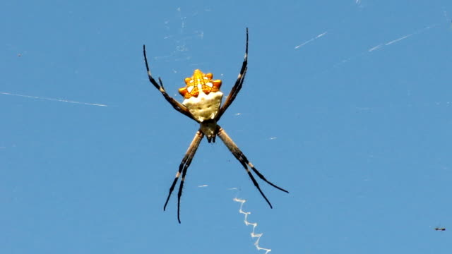 Silver Argiope (Writing Spider) video
