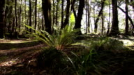 Silver fern in redwood forest New Zealand video