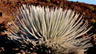 Silversword Cactus Plant Close Up video