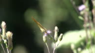 silver-washed fritillary video