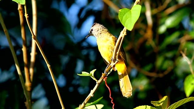 Singing Yellow Warbler video