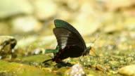 Single butterfly video