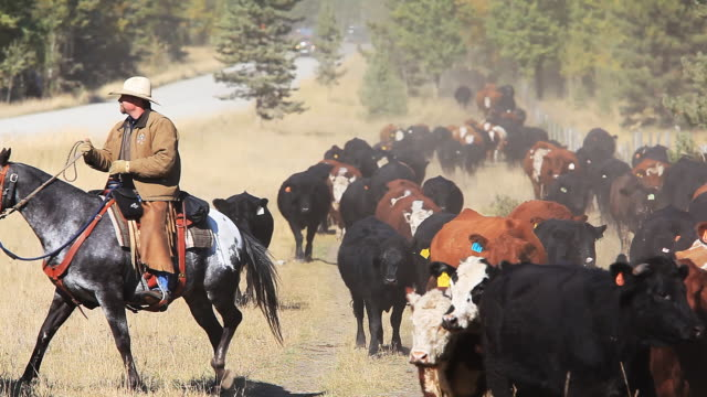 Single cowboy herding cattle drive video