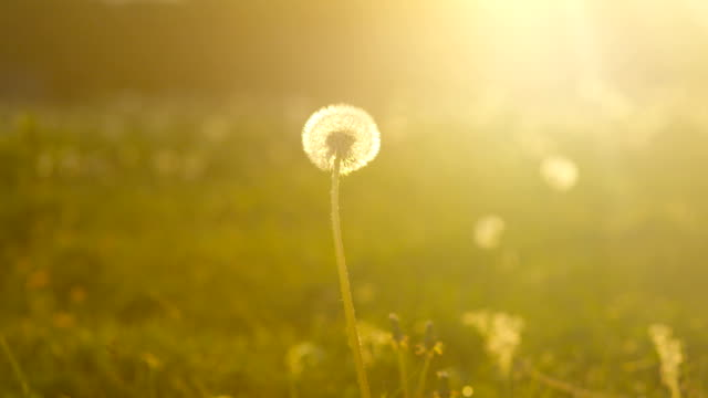 SLOW MOTION CLOSE UP: Single dandelion on sunny green meadow field at sunset video