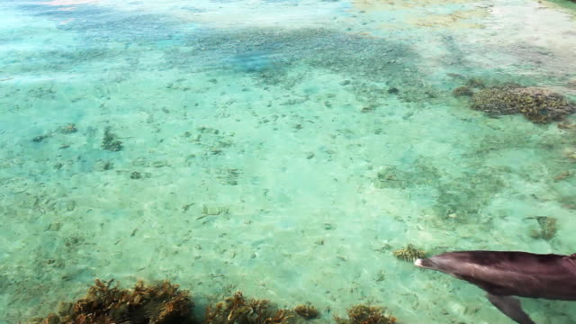 Single dolphin swimming on tropical coral reef video