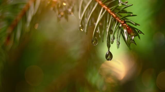 SLO MO LD Single droplet falling off a fir leaf video