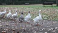 Single fie of geese video