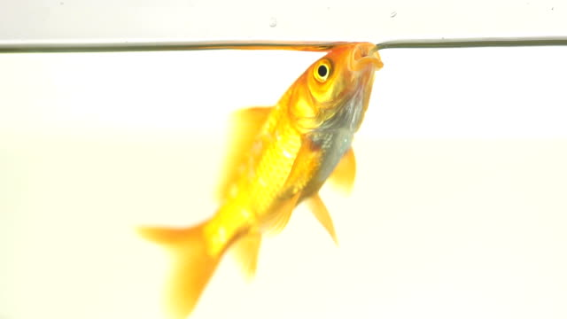 Single Goldfish Drinking Water At The Surface Of Fish Tank video