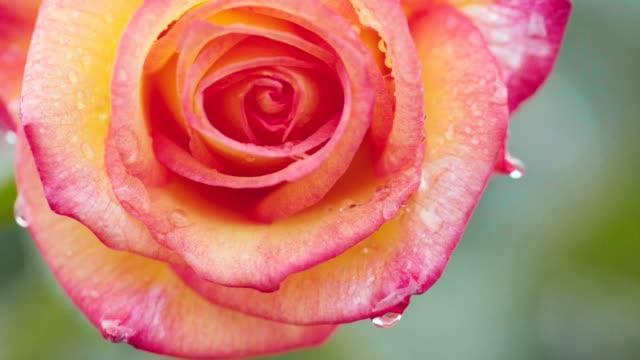 Single orange rose swinging in the rain, close up video