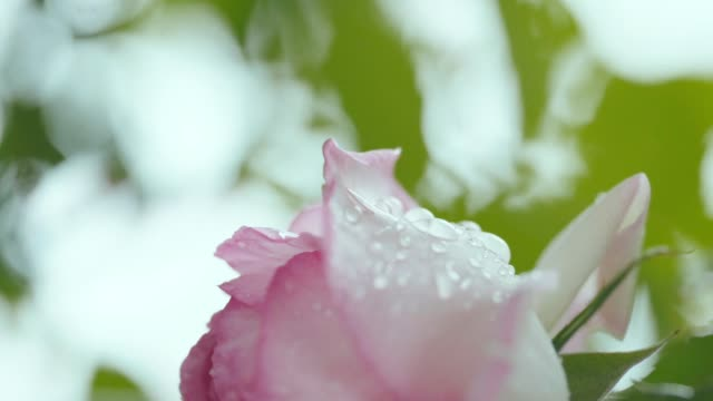 Single pink rose swinging in the rain, close up video