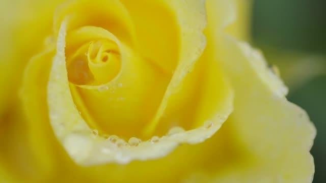 Single yellow rose swinging in the rain, close up video