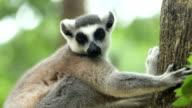 Sitting Lemur video