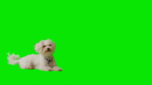 Sitting white puppy gets up and walks. video