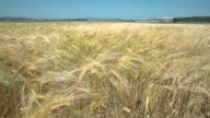 Skagit Valley, Golden Wheat, Washington 4K UHD video