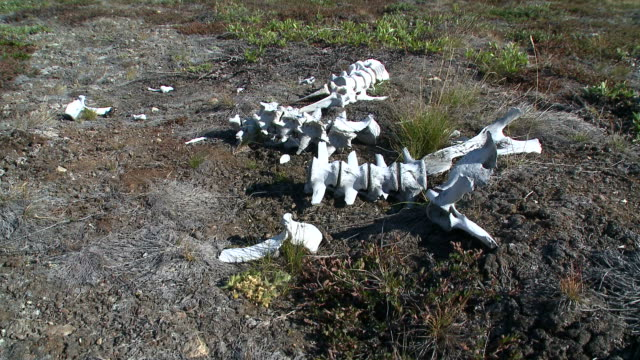 Skeleton of a Musk Ox in Greenland video