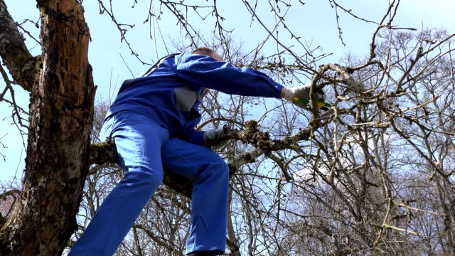 skilled grower man pruning branches with shears high on tree on blue sky video