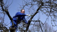 Skilled man pruning fruit tree twigs standing on high tree branches on blue sky video