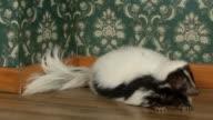 Skunk lying down in apartment video