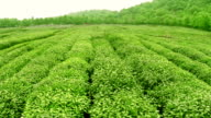 Sky, tea trees,hill and farm, real time.Aerial view. video