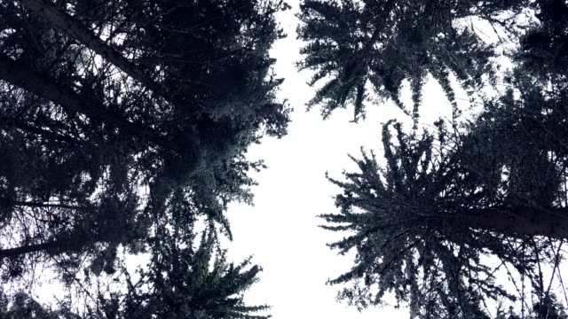Sky through forest mountain pine trees surrounded in snow. video