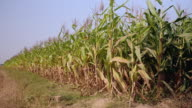Slant view on edge of corn field video