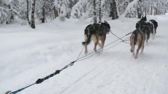 Sled dog team running a race video