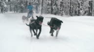 Sled dogs racing down snowy trail video