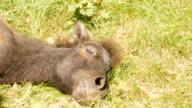Sleep stallion on the field. video