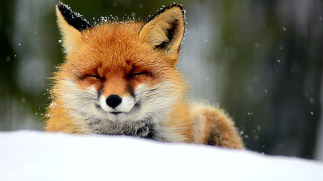 Sleeping Fox video