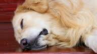 Sleeping Golden Retriever Dog video