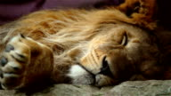 Sleeping Lion video