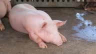 Sleeping pig video