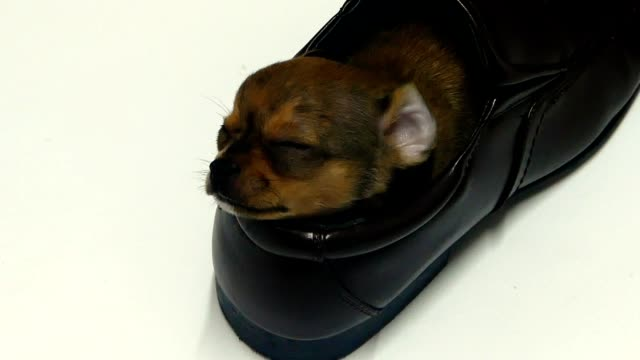 Sleeping puppy video