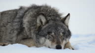 Sleeping wolf video