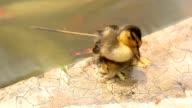 sleepy Duckling video