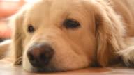 Sleepy Face Golden Retriever Dog video