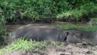sleepy hippo locking into the camera video