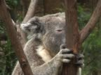 Sleepy koala video