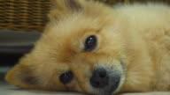 Sleepy Pomeranian Dog video