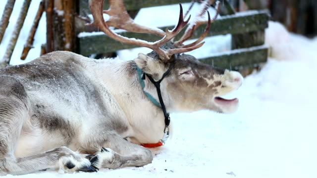Sleepy Reindeer video
