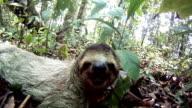 sleepy sloth video