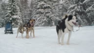 Sleigh dogs waiting for a race video