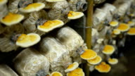 slide view panning : mature Lingzhi mushrooms video
