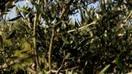 Slider on a olive tree video