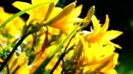 Slider shot of yellow daylilys video