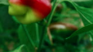 Slider Zoom Shot of Local Produce Organic Green and Red Peppers with Foliage_Fly video