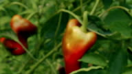 Slider Zoom Shot of Local Produce Organic Red Peppers with Green Foliage video