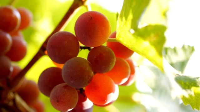 Sliding shot of red wine grapes video