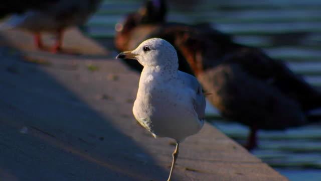 HD SloMo Coping One Legged Gull (720/24P) video
