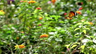 Slomo Orange Butterfly Fly in Perfect Gesture. video